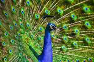 unique and colorful peacock